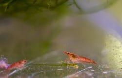 Креветка аквариума красная, мелкий dof Креветка, вишня, Amano или даже стоковые изображения rf