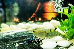 Креветка в аквариуме стоковая фотография