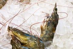 Креветка сырцовая в льде изолированном на белой предпосылке стоковые фотографии rf