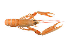 креветка langoustine dublin залива Стоковые Фото