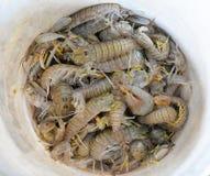 Креветка Mantis Стоковое Изображение