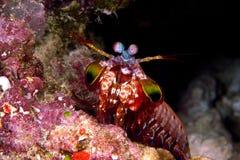 Креветка Mentis стоковое фото