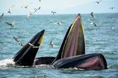 Креветки звероловства кита ` s Bryde Стоковые Изображения