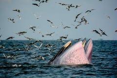 Креветки звероловства кита ` s Bryde Стоковая Фотография RF