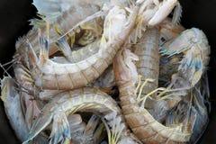 Креветки Mantis закрывают вверх по съемке в баке Стоковые Фото