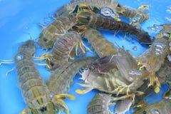 Креветки Mantis Стоковые Изображения