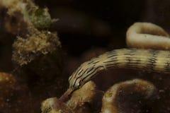 Крепкий Pipefish, остров Mabul, Сабах стоковые фото