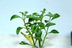 Кресс-салат стоковые фотографии rf
