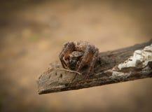 Крестоносец паука стоковая фотография rf