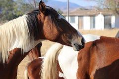 Крест пегой лошади краски лошади мустанга выстрела в голову одичалый американский Стоковое фото RF