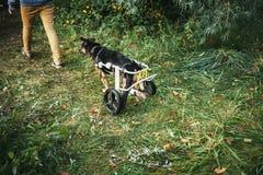 Кресло-коляска собаки Стоковая Фотография RF