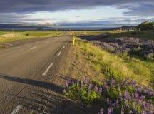 Кривая дороги асфальта к побережью берега моря через сельский северный ландшафт с зеленой травой и фиолетовыми perennis f Lupinus Стоковое Фото