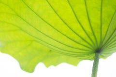 Кривые и текстура лист лотоса Стоковые Изображения RF