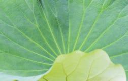 Кривые и текстура лист лотоса Стоковые Фотографии RF