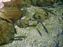 кристаллическая вода рыб Стоковое Фото