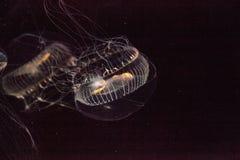 Кристаллическая медуза Aequorea Виктория биолюминесцентное hydrozoa Стоковое Изображение