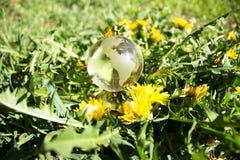 Кристаллический глобус среди одуванчиков Стоковое Изображение RF
