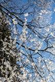 Кристаллы снега на ветвях дерева Стоковая Фотография