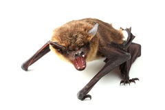 кричащая летучая мышь на белизне Стоковая Фотография RF