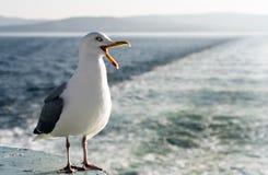 Кричащая чайка Стоковые Изображения