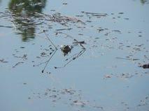 Кричащая yellyow-bellied жаба Стоковая Фотография RF