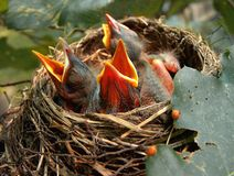 Кричащий для еды от гнезда стоковые изображения