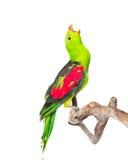 Кричащий, который Красно-подогнали попугай (erythropterus Aprosmictus) в профиле изолировано Стоковые Фотографии RF