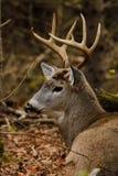 Самец оленя оленей Whitetail положенный в постель во время колейности Стоковые Изображения RF