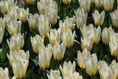 Кровать белых тюльпанов Стоковые Фото