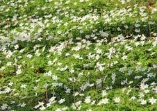 Кровать белых windflowers на времени весны Стоковая Фотография