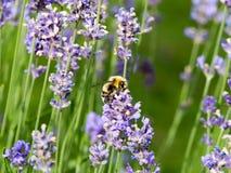 Кровать и бабочки лаванды Стоковое Фото