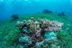 Кровать и морская флора и фауна Seagrass в национальном парке Wakatobi, Indonesi Стоковые Изображения RF