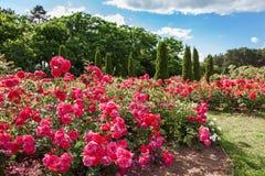 Кровать роз на саде стоковая фотография
