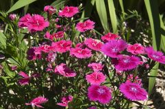 Кровать сада красочного пинка и пурпурные цветки сладких заводов Вильям стоковое изображение rf