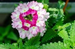 Кровать сада пинка и белых цветков стоковое фото rf