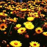 Кровать солнцецвета Стоковое фото RF