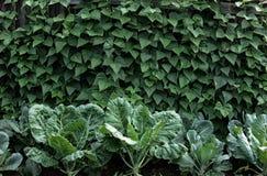 Кровать с черенок капусты и фасоли Стоковая Фотография
