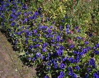 Кровать фиолетовых pansies Стоковая Фотография