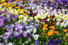 Кровать pansies Стоковое Изображение RF