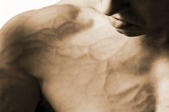 кровеносные сосуды Стоковые Фотографии RF