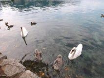 Кровоточенное озеро (лебеди) Стоковое Изображение