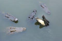 Крокодилы в воде Стоковые Изображения