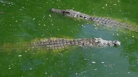 Крокодилы в зеленом плавании воды медленно акции видеоматериалы