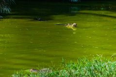 Крокодилы на ферме крокодила sarawak граничат Малайзия Стоковое Изображение RF