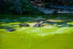 Крокодилы на ферме крокодила sarawak граничат Малайзия Стоковые Изображения RF
