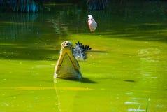 Крокодилы на ферме крокодила sarawak граничат Малайзия Стоковое Фото