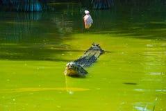 Крокодилы на ферме крокодила sarawak граничат Малайзия Стоковая Фотография