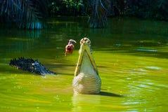 Крокодилы на ферме крокодила sarawak граничат Малайзия Стоковые Изображения