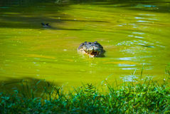 Крокодилы на ферме крокодила sarawak граничат Малайзия Стоковая Фотография RF
