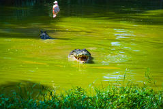 Крокодилы на ферме крокодила sarawak граничат Малайзия Стоковое фото RF